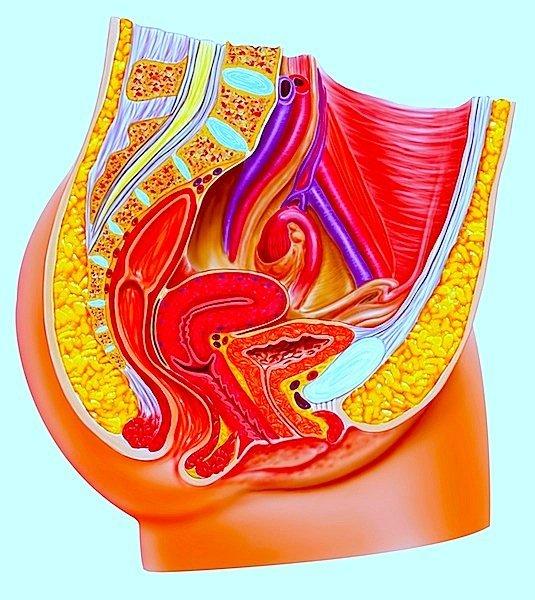 anatomía, aparato, genital, femenino, interno