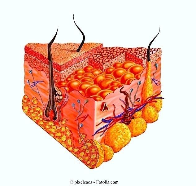 piel, interior, dermis