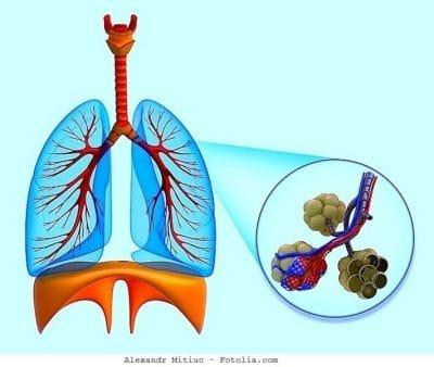 pulmón, diafragma, alveolos, respiración