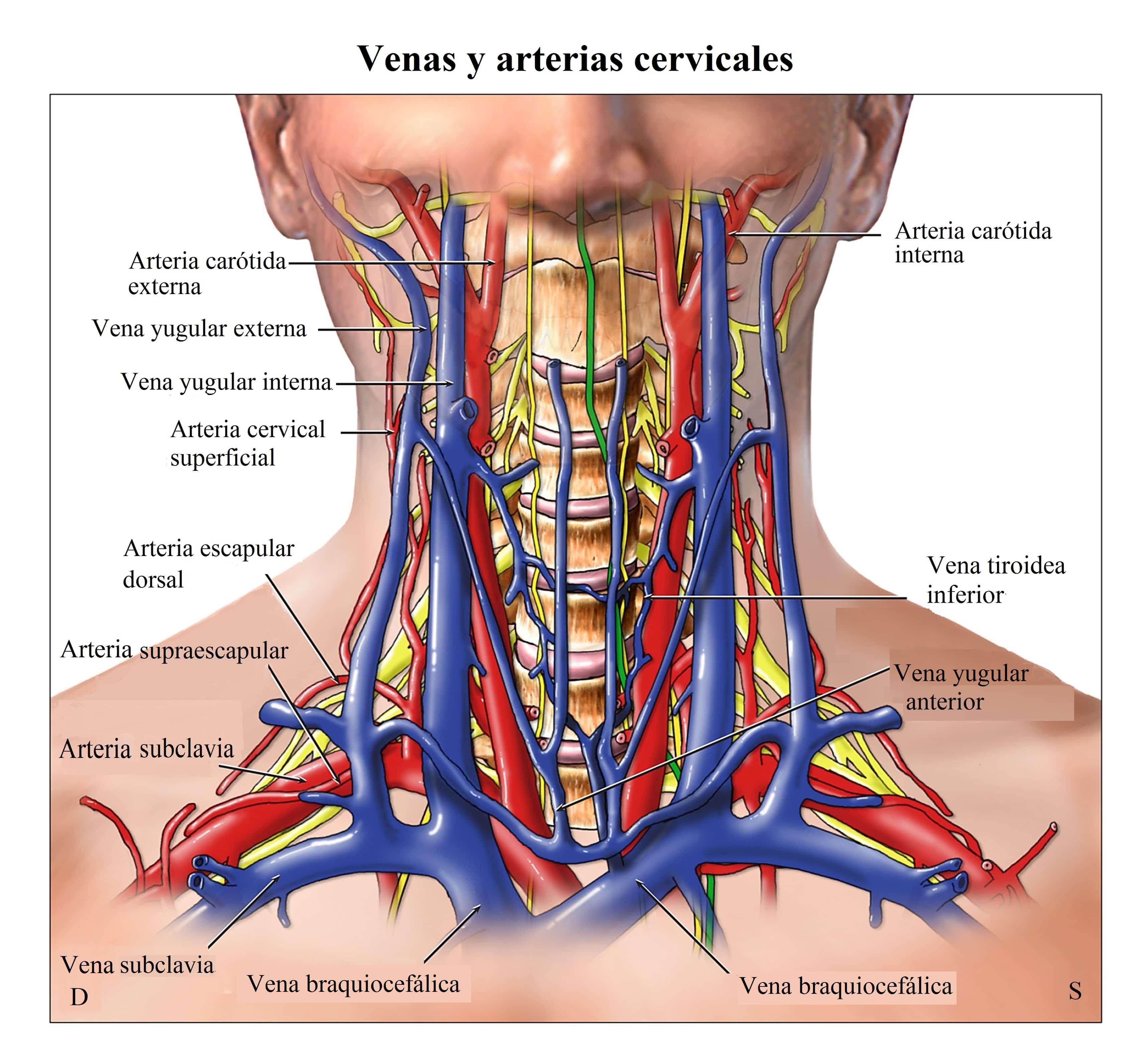 Anatomía de las arterias Venas-y-nervios-del-cuello-cervical-Región-de-la-columna-vertebral