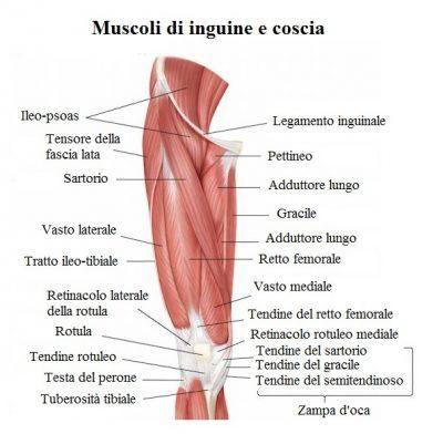 anatomia-coscia-inguine-400x392