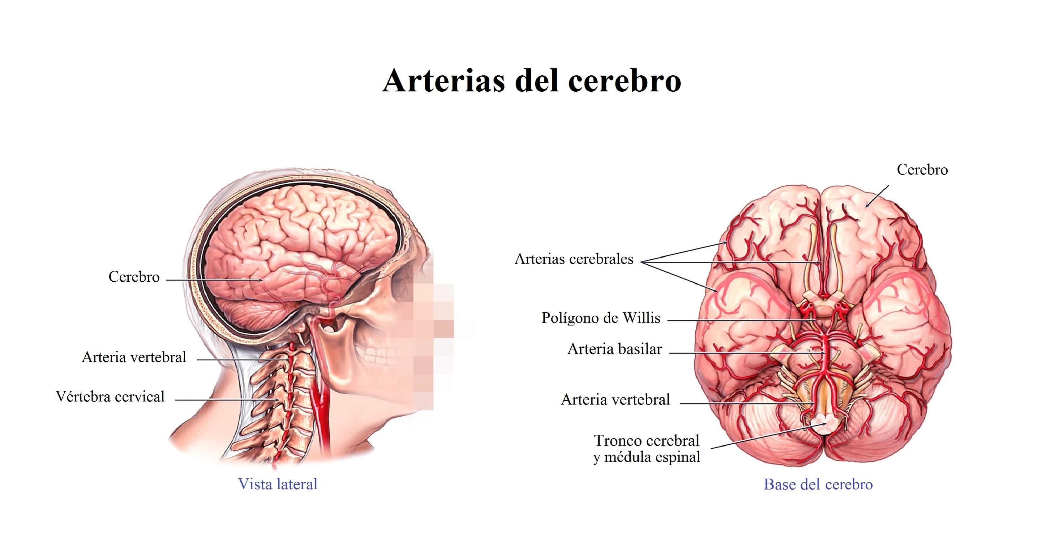 arterias-del-cuello-y-del-cerebro