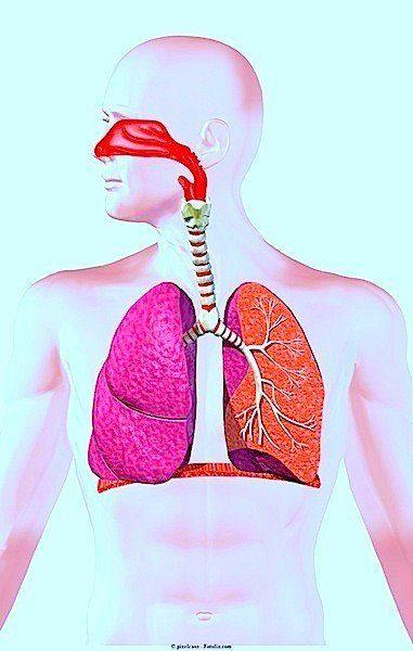 pulmones, garganta, respiración