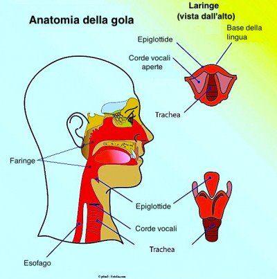 Cáncer de garganta, anatomía, faringe, laringe