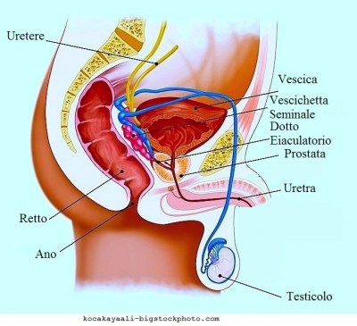 anatomía testículos, pene, vejiga