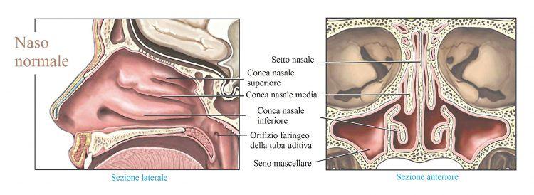 anatomía-de-la-nariz