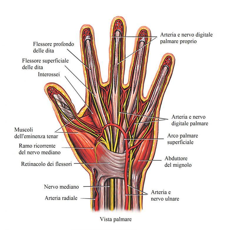 flexores-de-los-dedos-abductor-arteria-ulno-radial