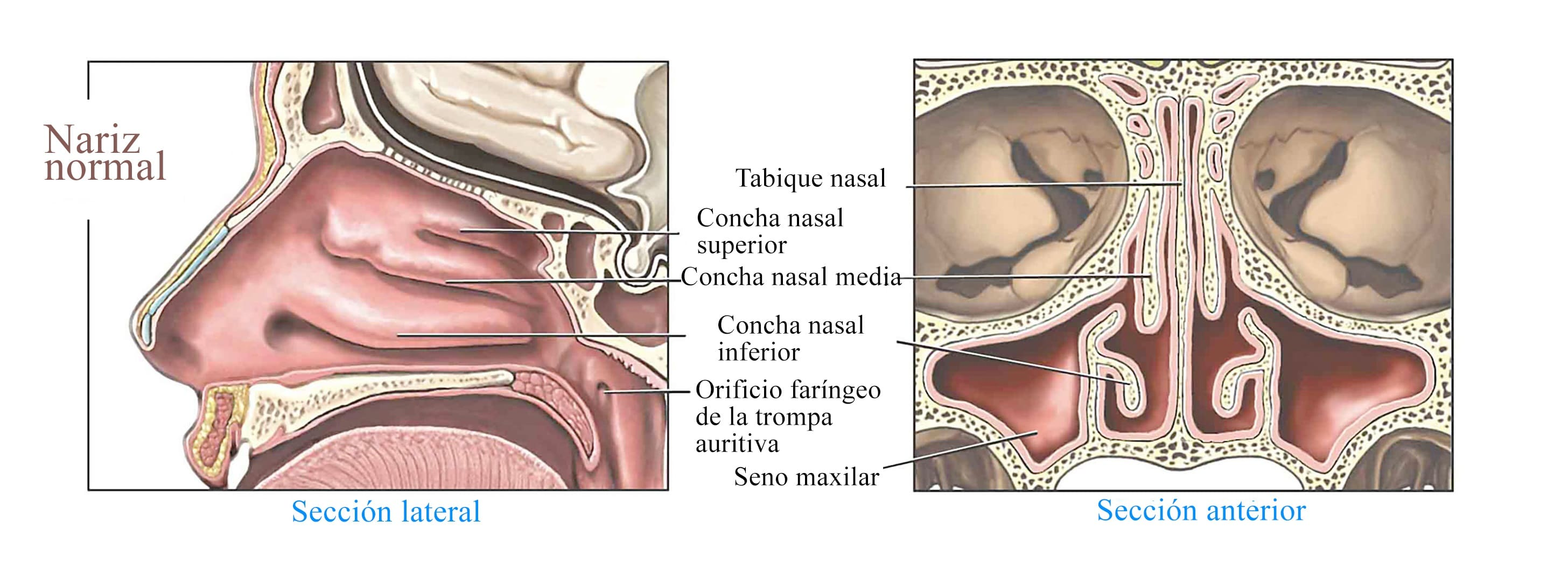 nariz-normal-cornetes