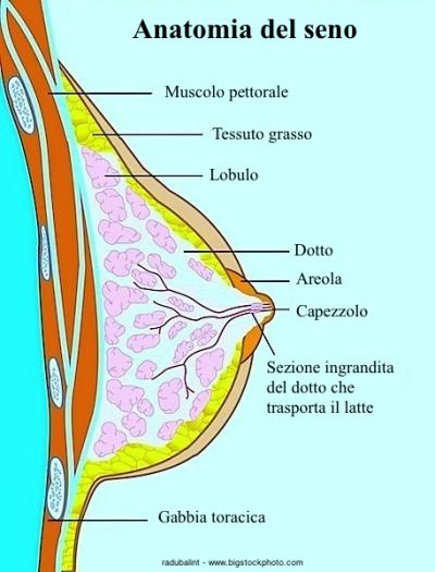 Anatomía del seno, secreciones, blancas