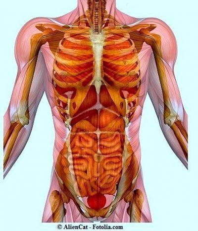 anatomía, abdomen, pecho, pelvis