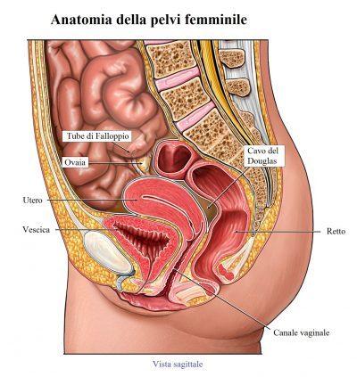 anatomía de la pelvis femenina