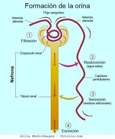 riñón, glomérulo, filtra