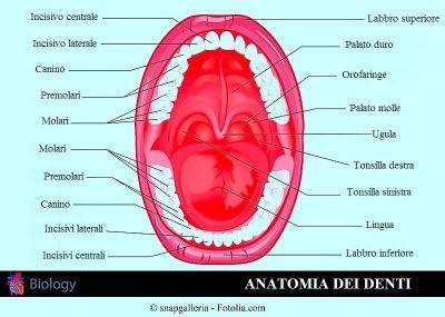 Dientes permanentes, dentición