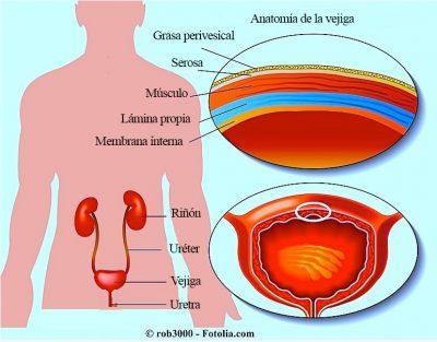 anatomí-de-la-vejiga