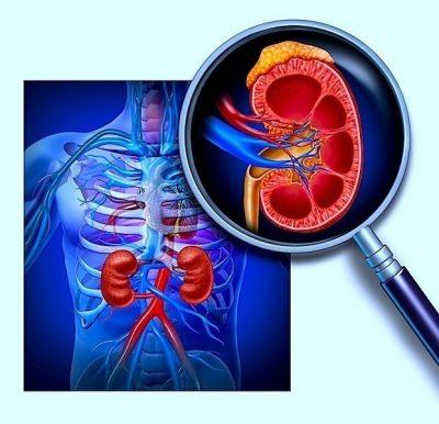 riñones, anatomía