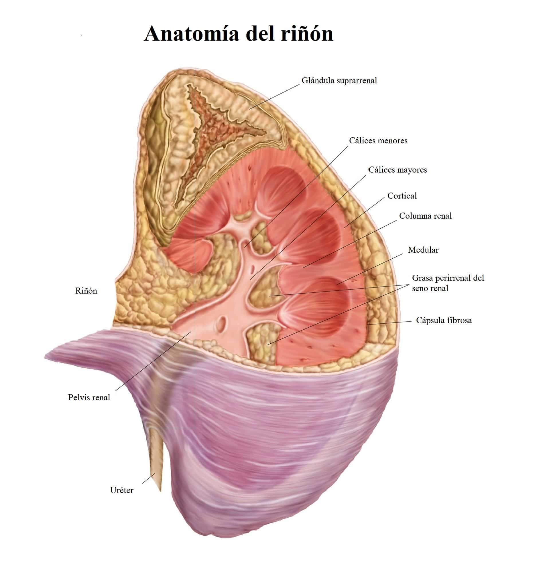 Insuficiencia renal crónica: síntomas, tratamiento, dieta ...