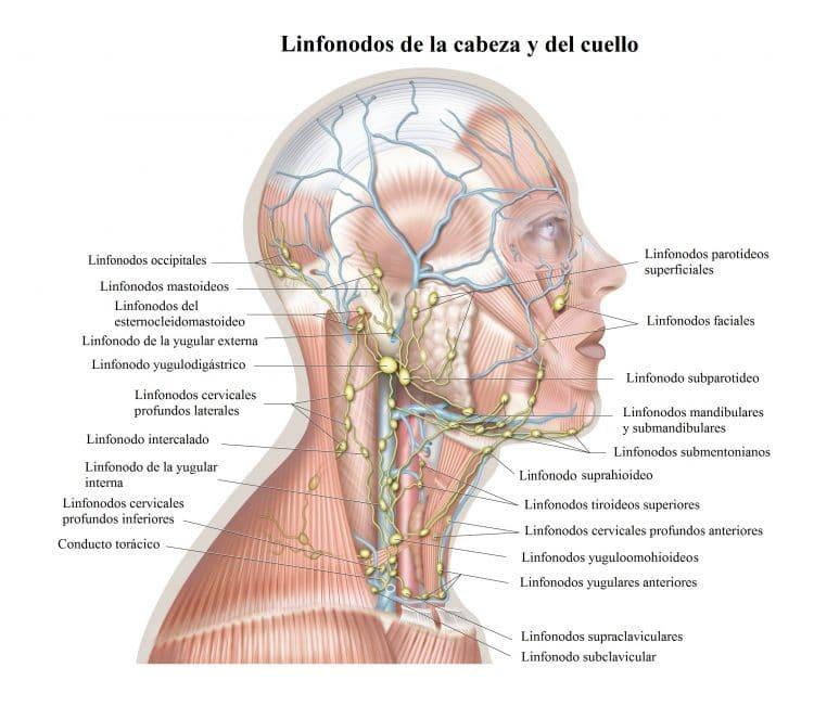 linfonodos de la cabeza y del cuello