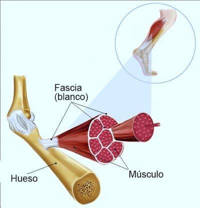 fascia, músculos, huesos, tendones, estructura, anatomía, manipulación, funcionamiento