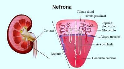 nefrona, nefritis y glomerulonefritis
