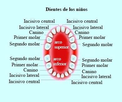 Dientes de los niños, provisionales, permanentes, dentición
