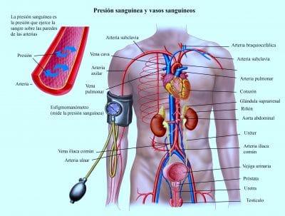 Presion sanguinea y vasos sanguineos