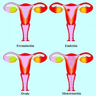 Diagnóstico de la menopausia, ciclo, fertilidad, ovulación, menstruación