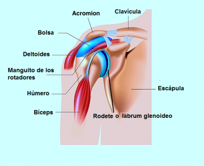 hombro, bolsa, bíceps, deltoides, escápula