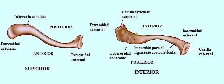 clavícula, tuberosidad, facetas, acromion, esternón