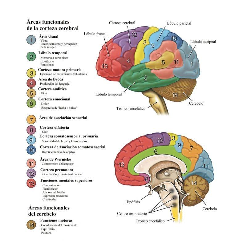 areas funcionales de la corteza cerebral