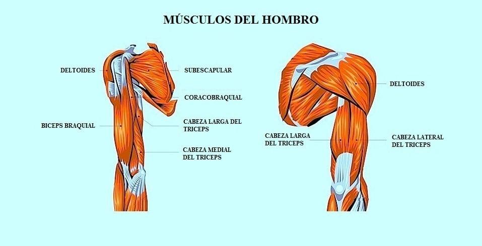 Único Músculos En El Hombro Regalo - Anatomía de Las Imágenesdel ...