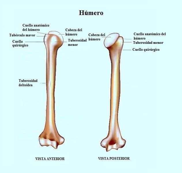 Anatomía del hombro, manguito rotador, funcional, imagenes ...