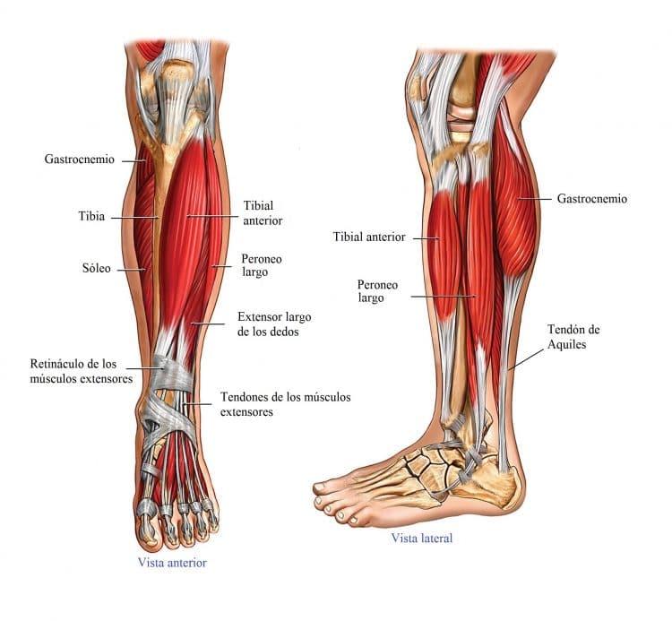 anatomia de rodilla, anatomia de pierna