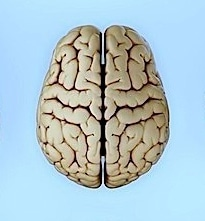 cerebro, encéfalo, lóbulo, interior