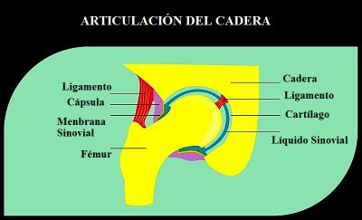 Articulación, cadera, cartílago, membrana, sinovial, fémur