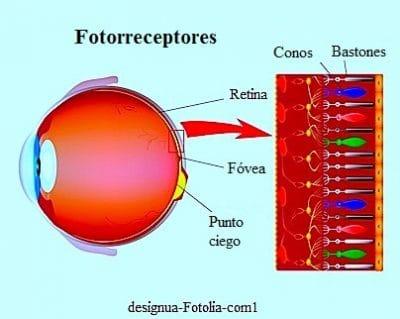 Fotorreceptores