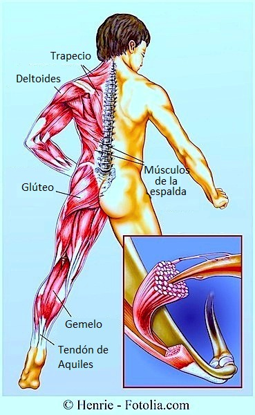 Distensión muscular, músculo