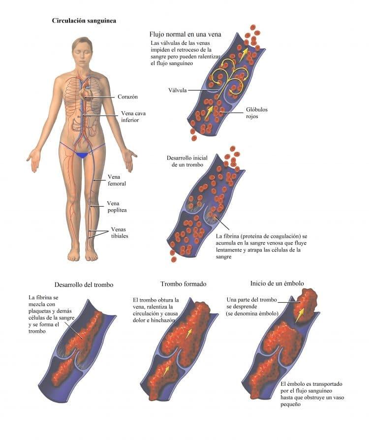 circulacion sanguinea