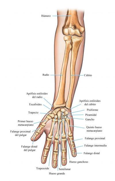 huesos del brazo y de la mano
