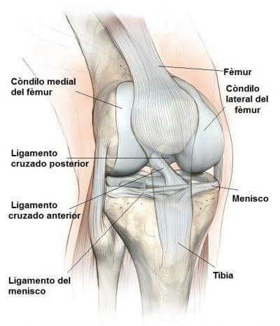 Anatomía De Rodilla Imagenes Articulacion Ligamentos
