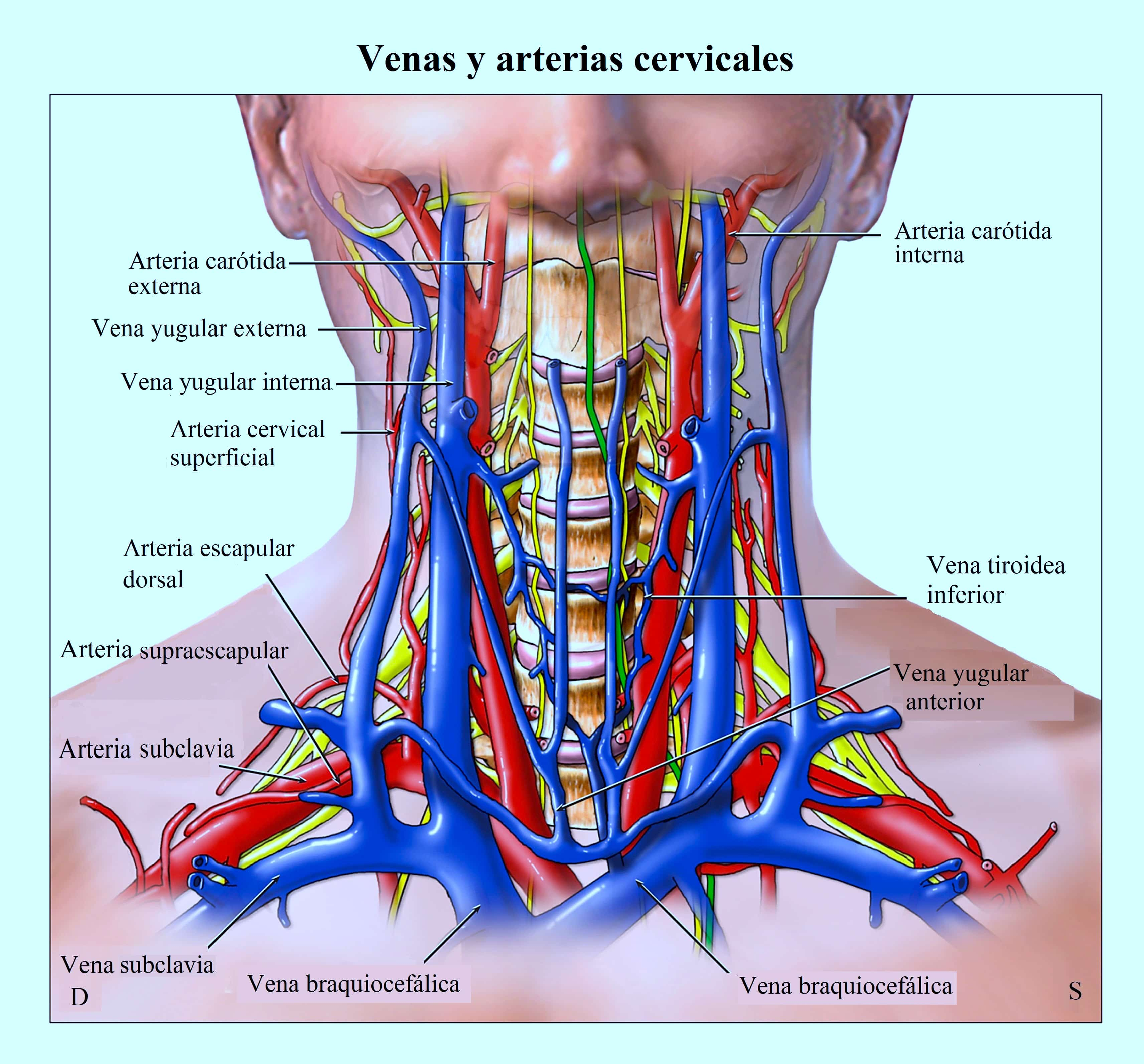 Carótida, yugular, columna cervical