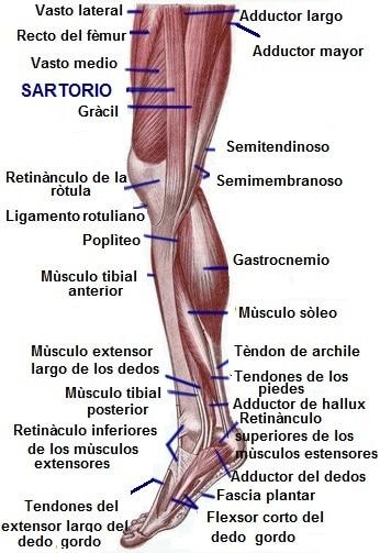 Músculo sartorio