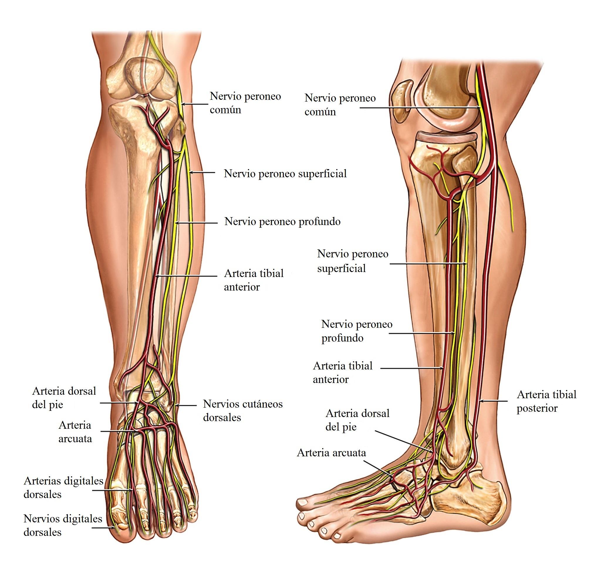 Anatomía de la pierna, nervios y arterias