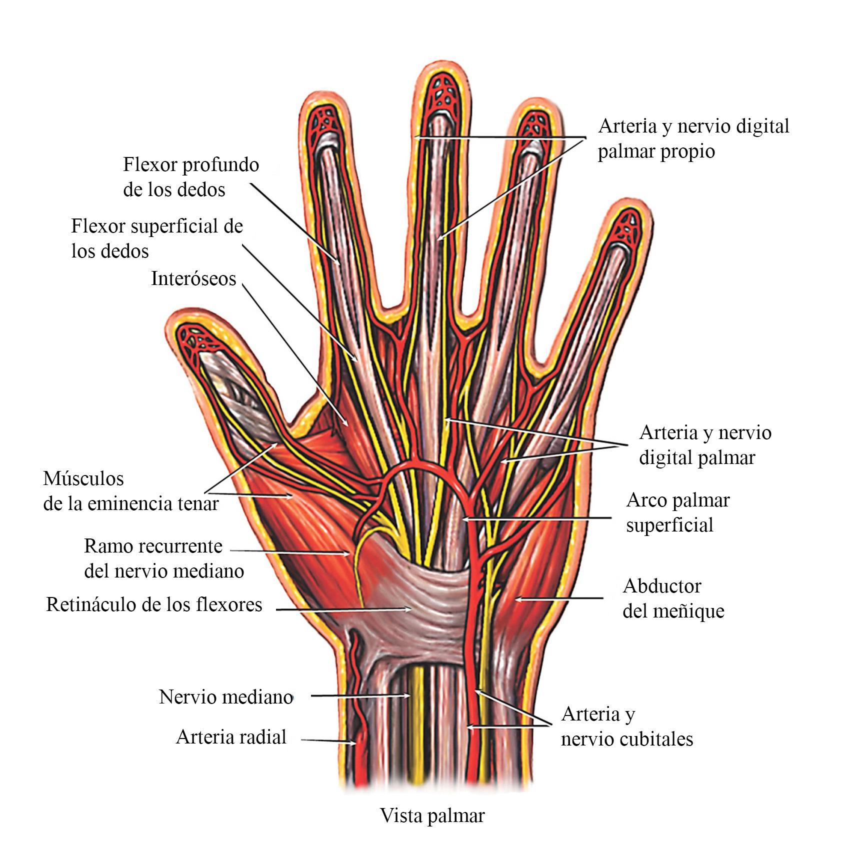 Fexores de los dedos, tendones