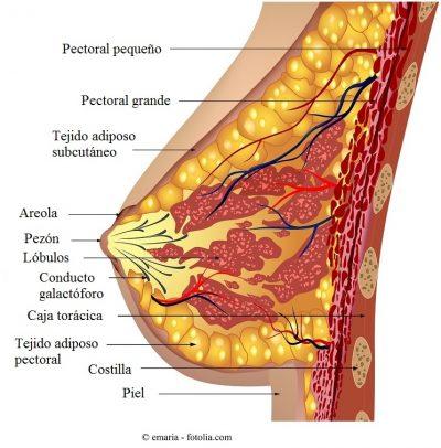 Seno, anatomía