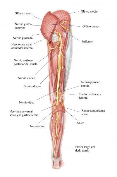 nervio ciático, pierna, posterior