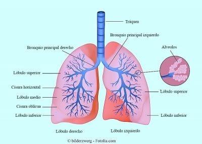 pulmones, anatomía, bronquios