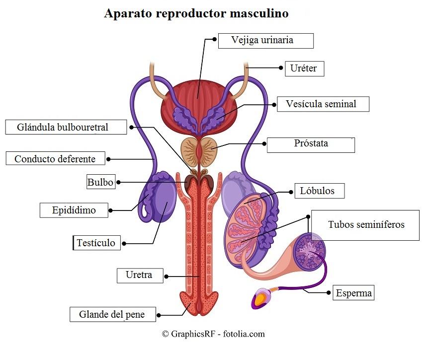 Prurito en el glande, y prepucio, tratamiento, causas, manchas ...