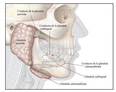 glándulas salivales, parótidas, sublinguales