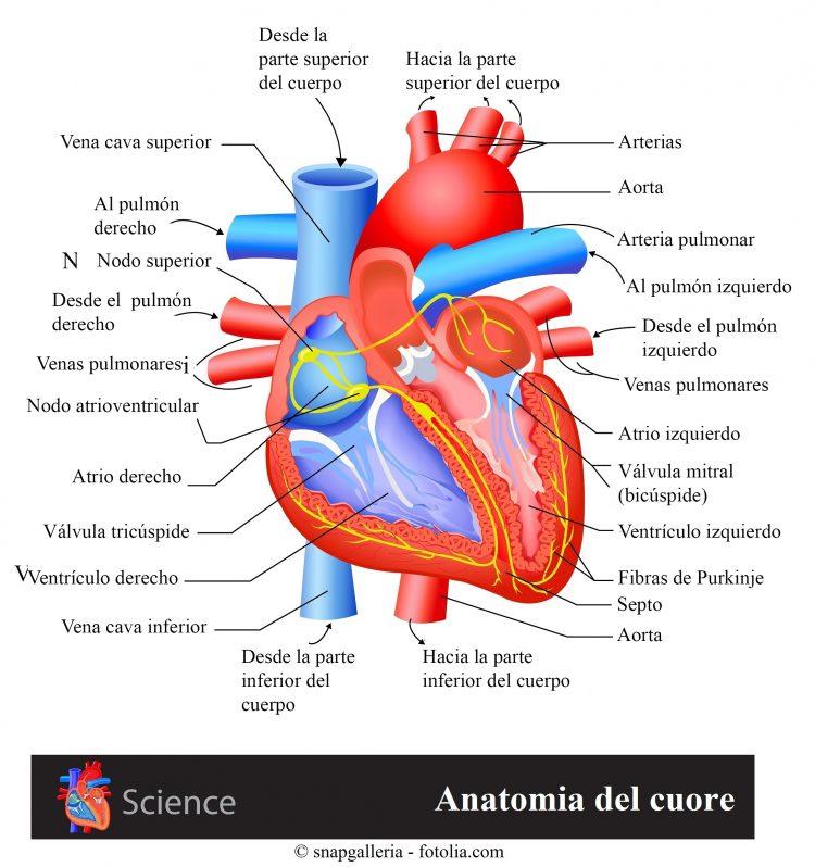corazón, atrio, ventrículo, nodo sinusoidal