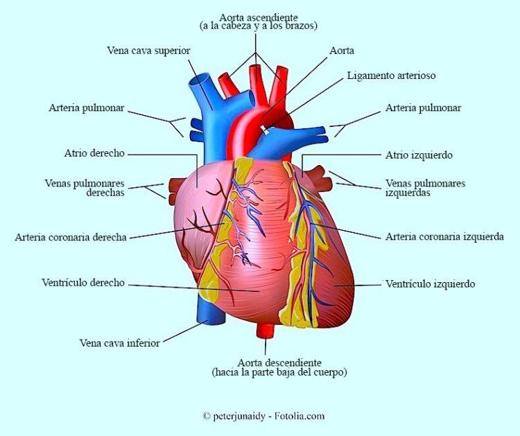corazón, aorta, coronarias, ventrículo